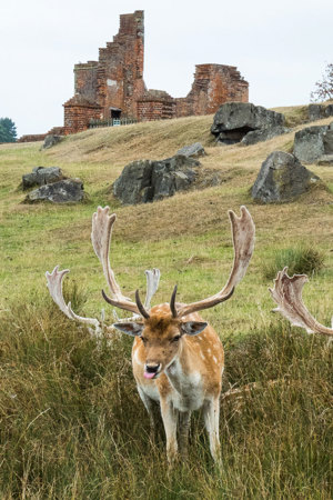Fallow Deer in front of the Ruins