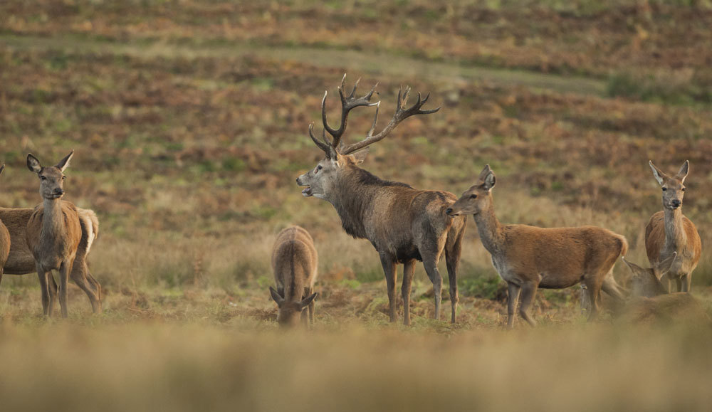 Stag with the Herd