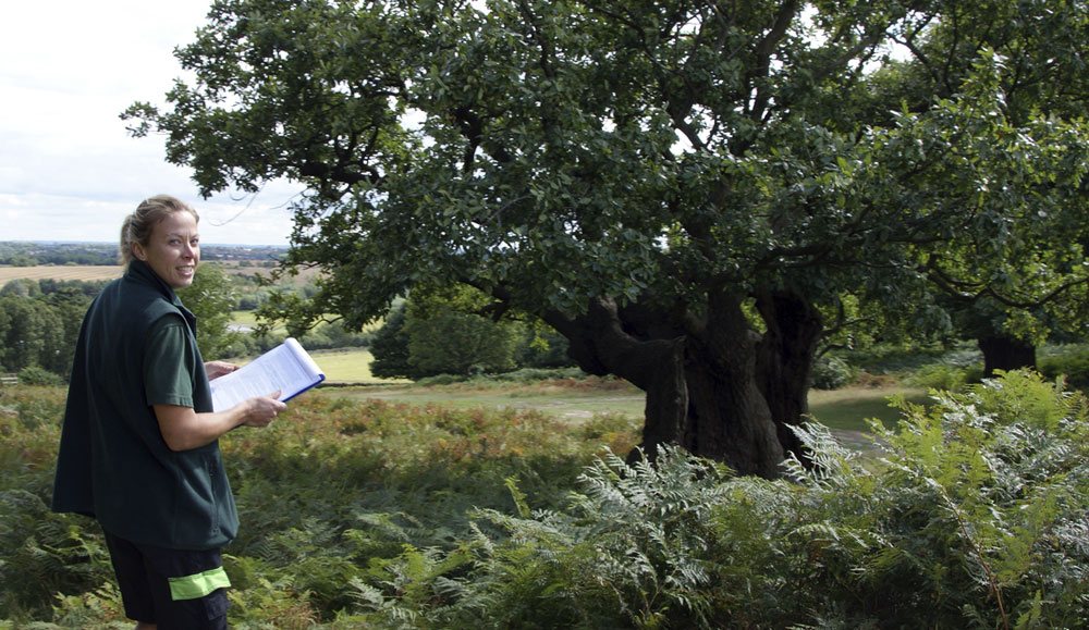 Examining one of teh ancient oaks in Bradgate