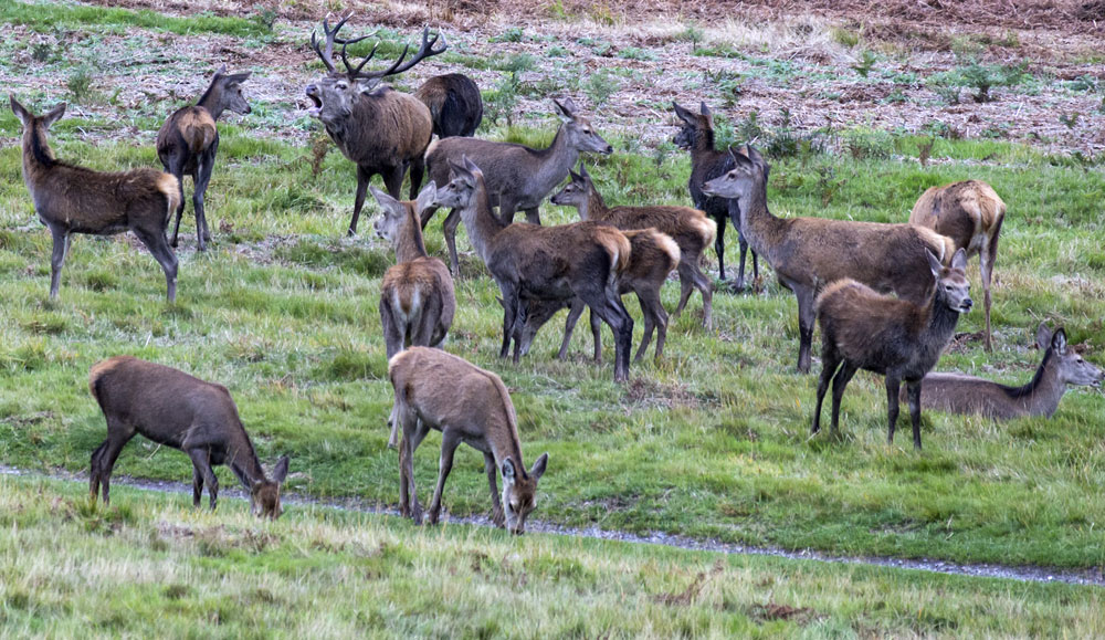 Stag marshals the hinds at his disposal