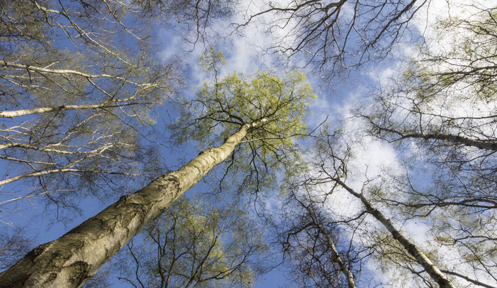 Swithland Wood Tree tops