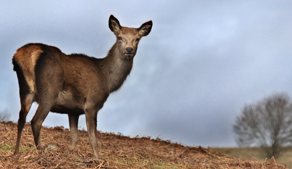 Bradgate Deer in the Wilderness of the Park