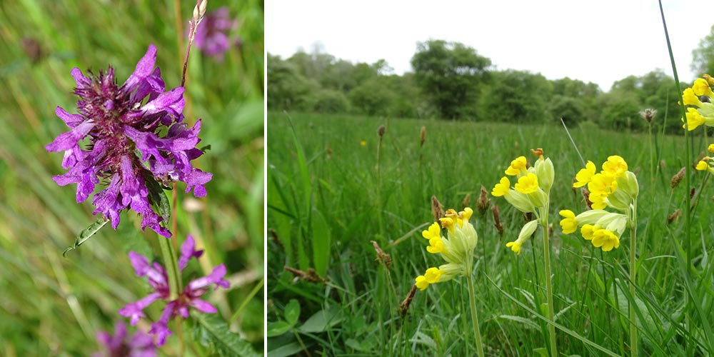 Betony and Cowslips