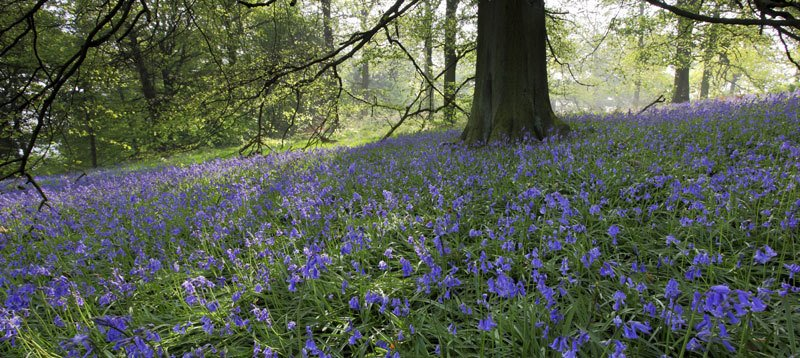 Natural Meadow with Spring Blue Bells
