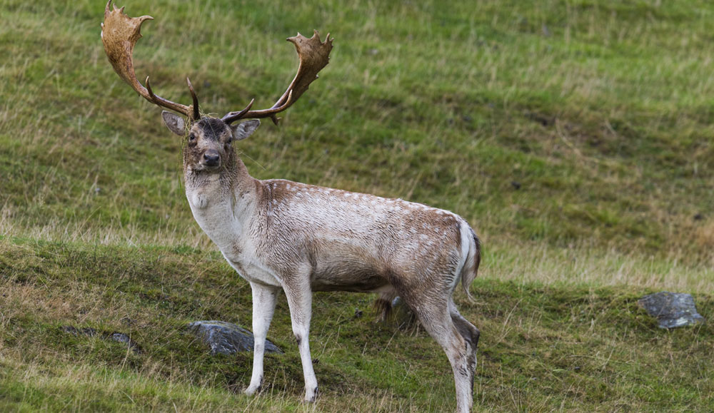 Male Fallow deer with resplendent antlers