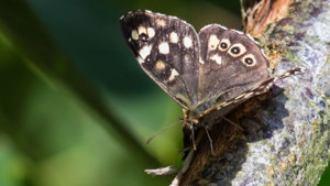 Moth found in Swithland Wood