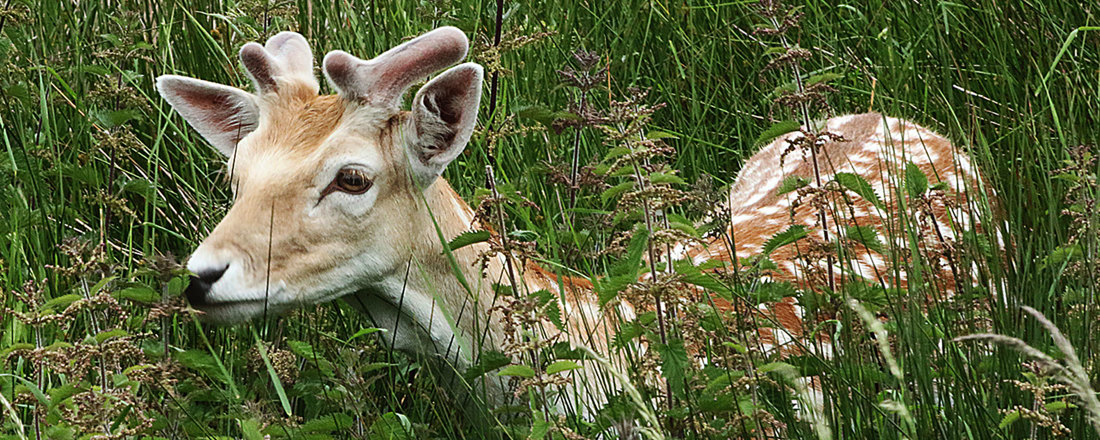 A Fawn carefully conceals itself in long grass
