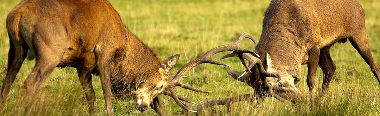 The violent struggle of two male Red Deer
