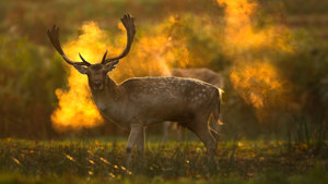 Photographing a Fallow Deer