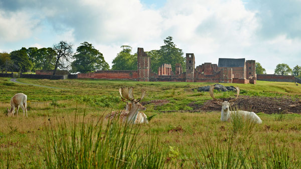 Bradgate House with Fallow deer grazing