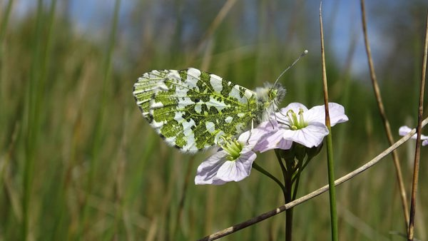 Orange Tip In the Swithland Meadow