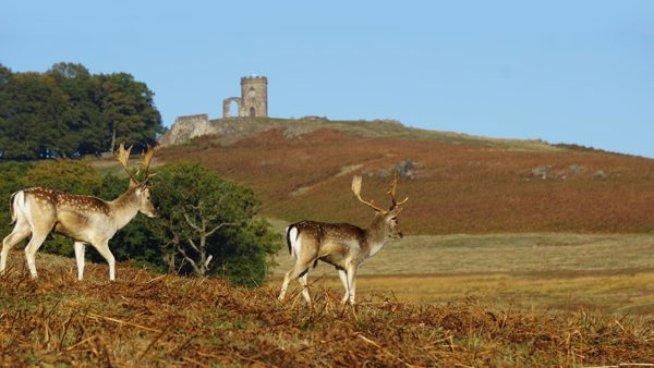 Fallow Deer with Old John in the Background