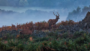 Deer on Rock outcrops