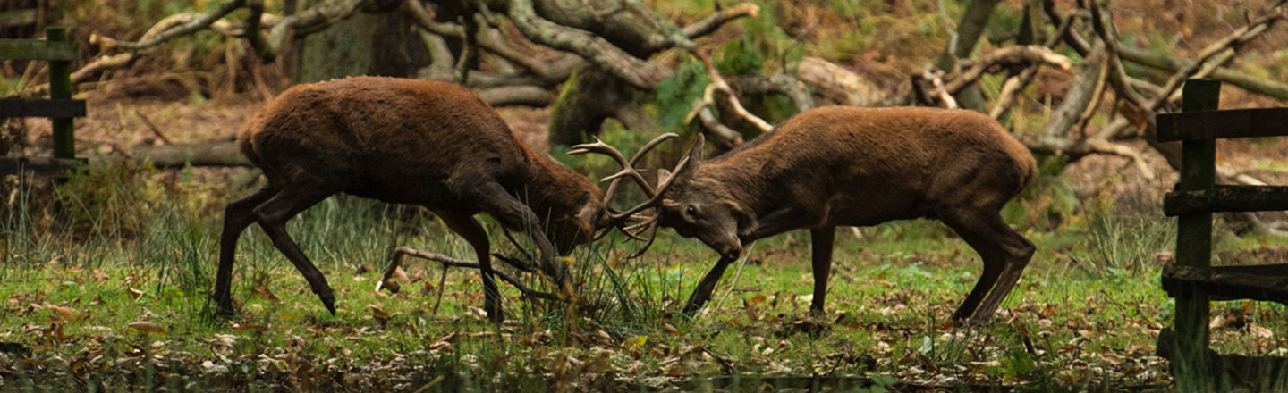 Red Deer the largest of the UK deer lock antlers in the Rut