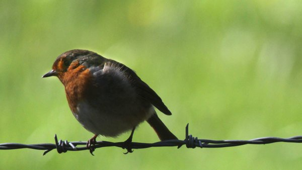 Robin sits on a barbwire fence